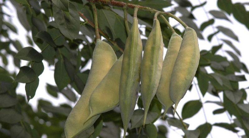 Gymnocladus dioica