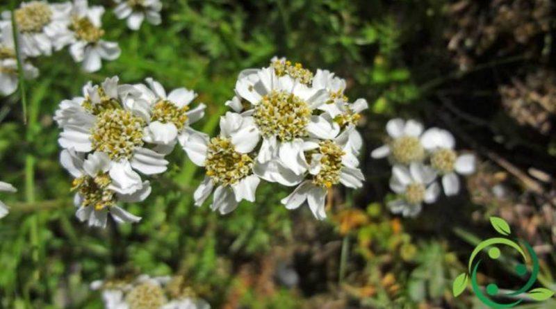 Proprietà ed usi dell'Achillea herba-rotta