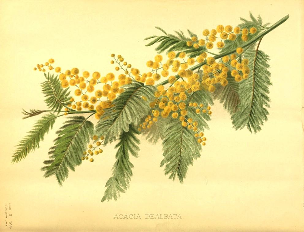 Italiano Acacia Dealbata Sistematica Etimologia Habitat