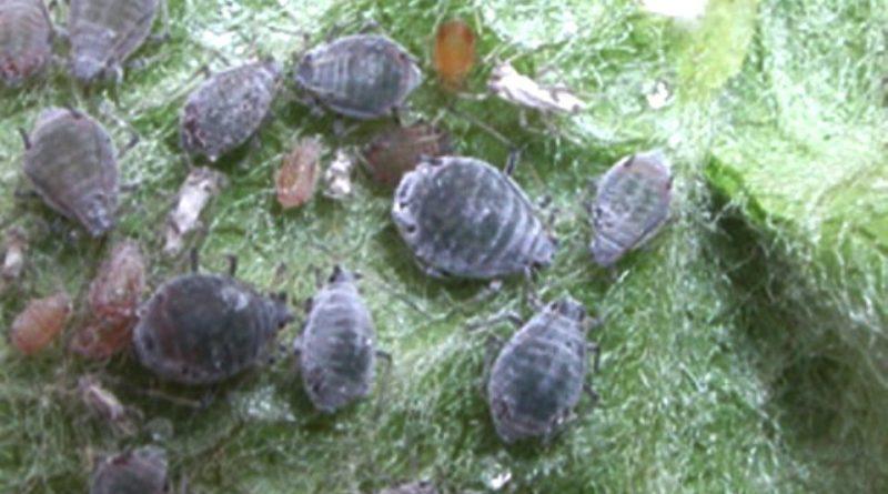 Dysaphis plantaginea