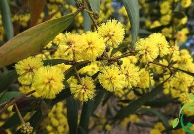 Come coltivare l'Acacia
