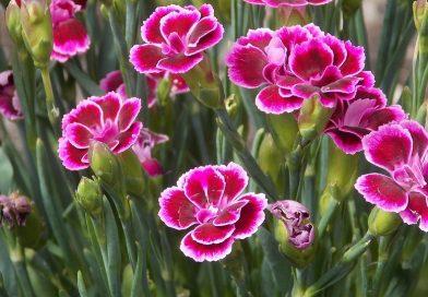 Dianthus caryophyllus