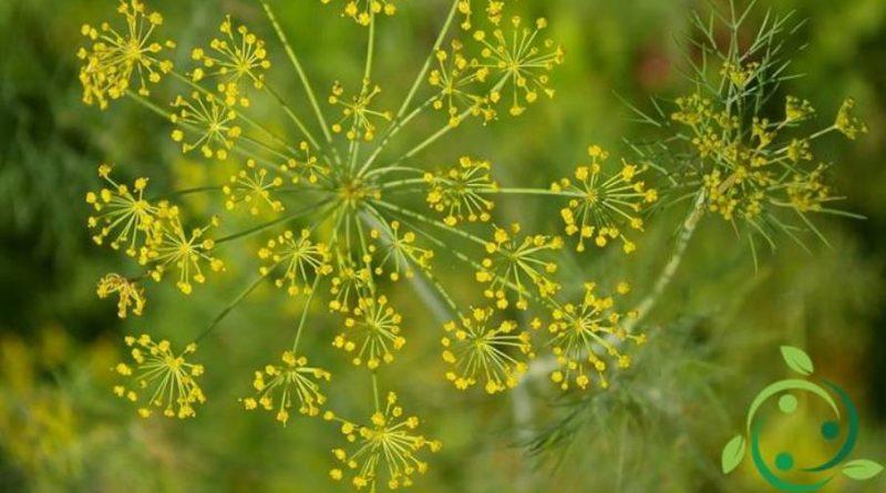 Olio essenziale di Aneto – proprietà ed usi