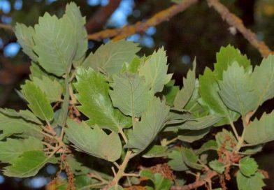 Quercus ithaburensis subsp. macrolepis