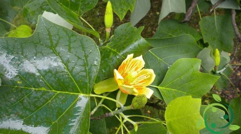 Come si coltiva il Liriodendron