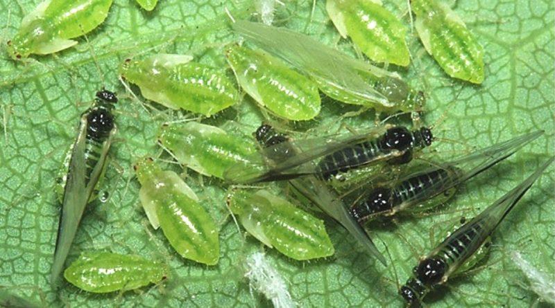 Periphyllus acericola