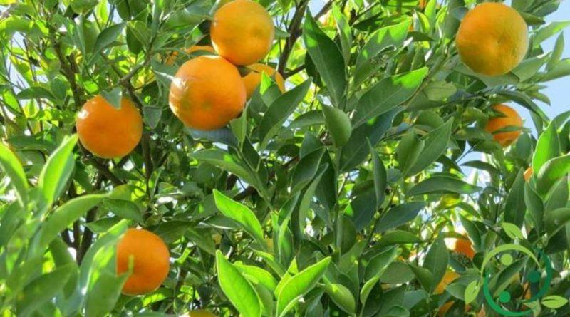 Come potare il Mandarino