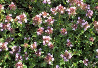 Thymus alpestris
