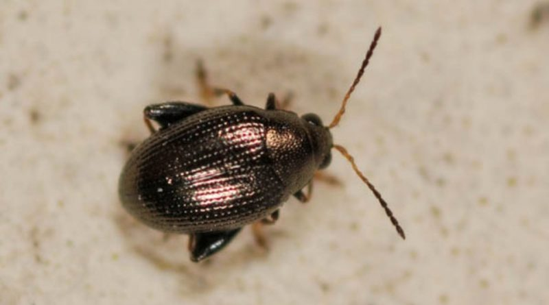 Chaetocnema tibialis