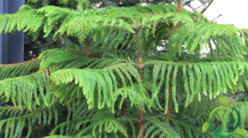 Come coltivare l'Araucaria