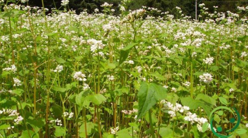 Come coltivare il Grano Saraceno in maniera biologica