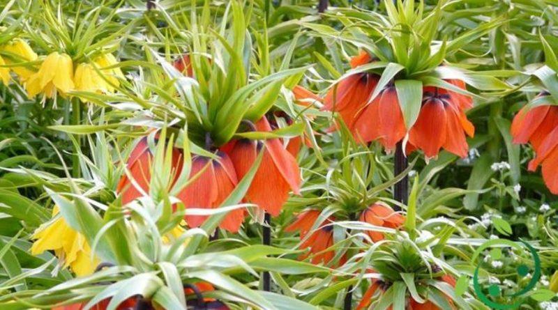 Come coltivare la Fritillaria