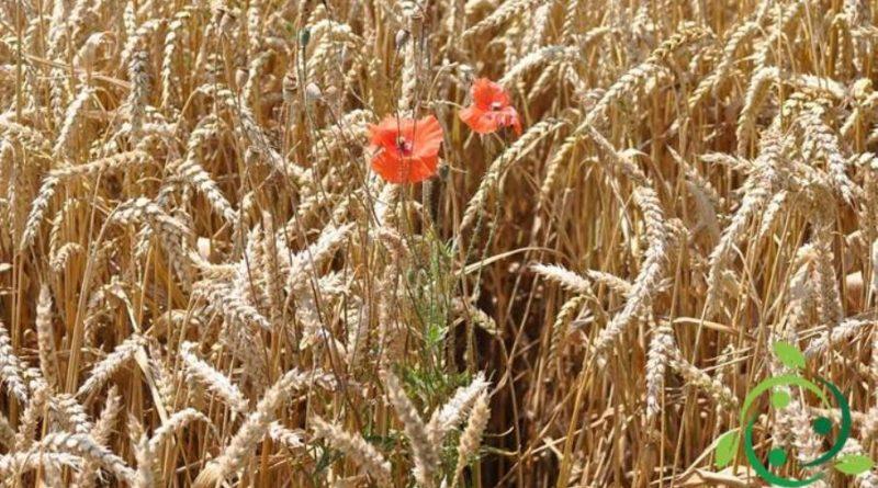 Come coltivare il Frumento in maniera biologica