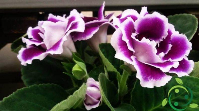 Come coltivare la Glossinia