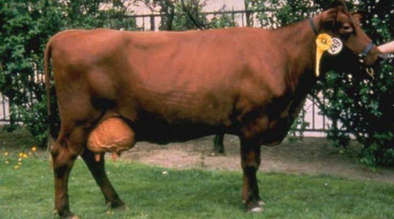 Estonian Red Cattle