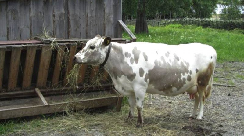 Swedish Mountain Cattle