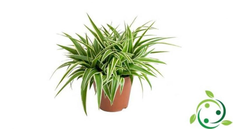 Come coltivare il Chlorophytum