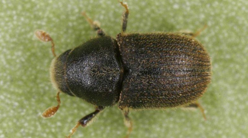 Phloeosinus thujae