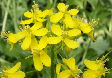 Brassica rapa campestris
