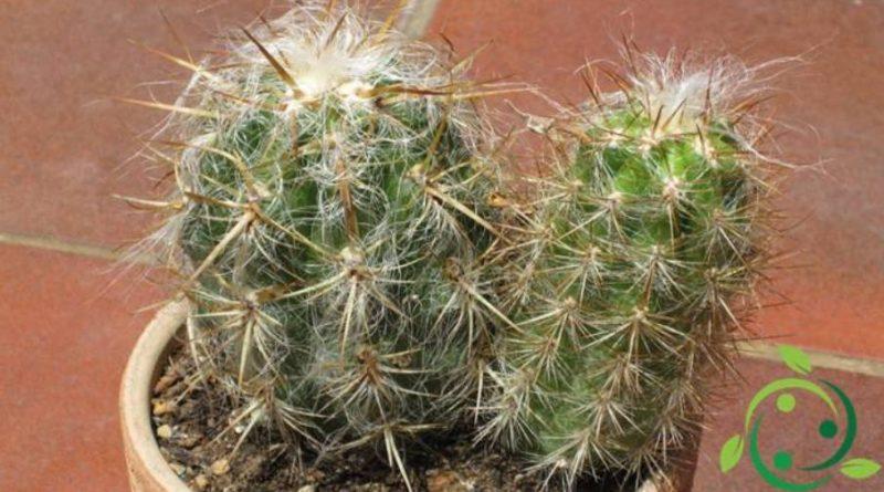 Come coltivare l'Oreocereus