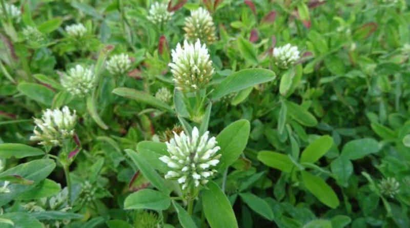 Trifolium squarrosum