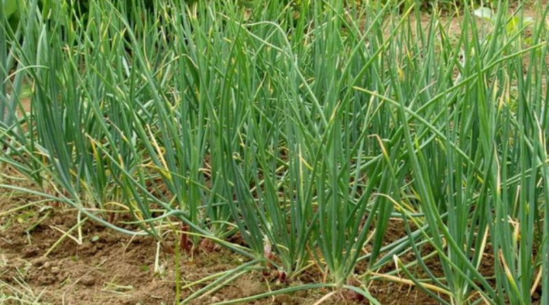 Allium ascalonicum