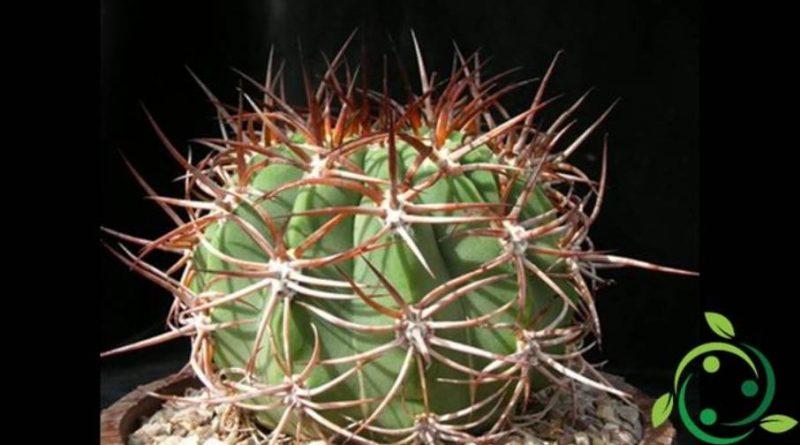 Come coltivare la Denmoza