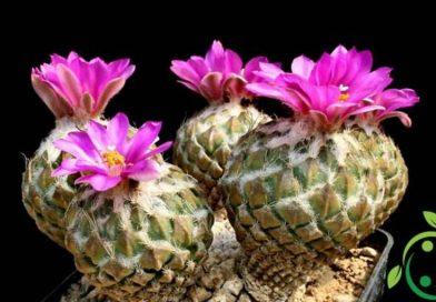 Come coltivare la Pelecyphora