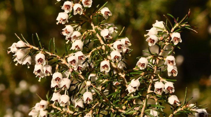 Erica arborea