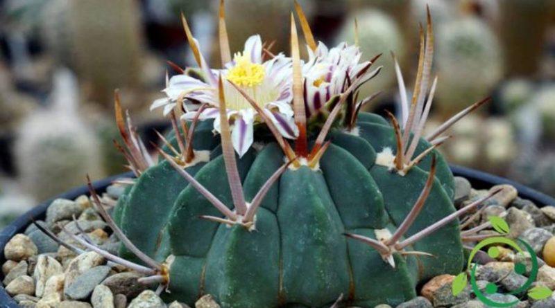 Come coltivare l'Echinofossulocactus