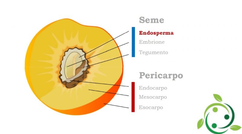 Endosperma