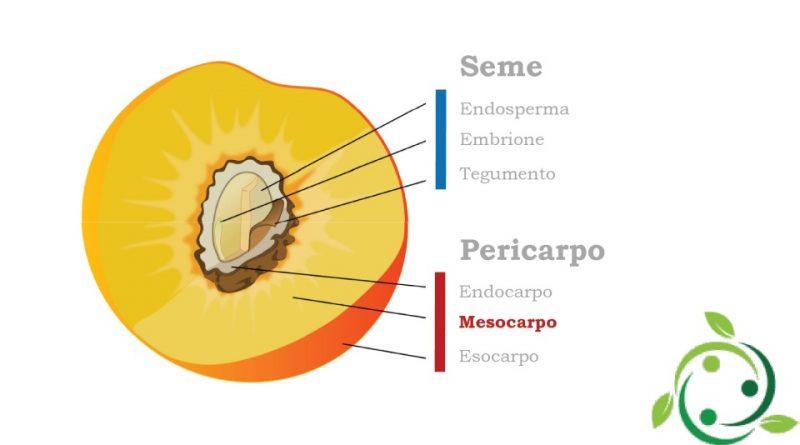 Mesocarpo