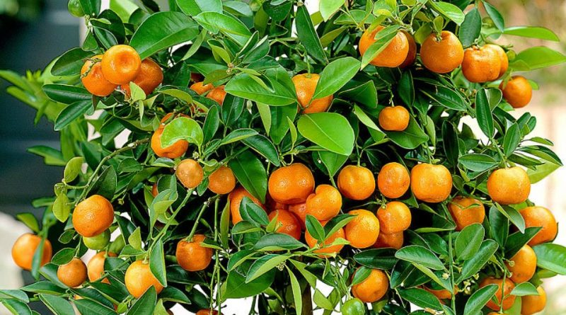 Citrus × microcarpa