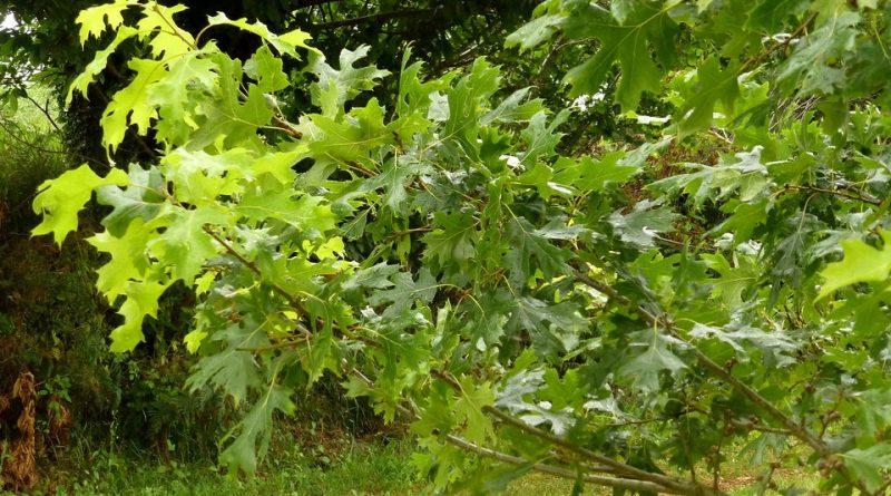 Quercus acerifolia