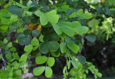 Haematoxylon campechianum