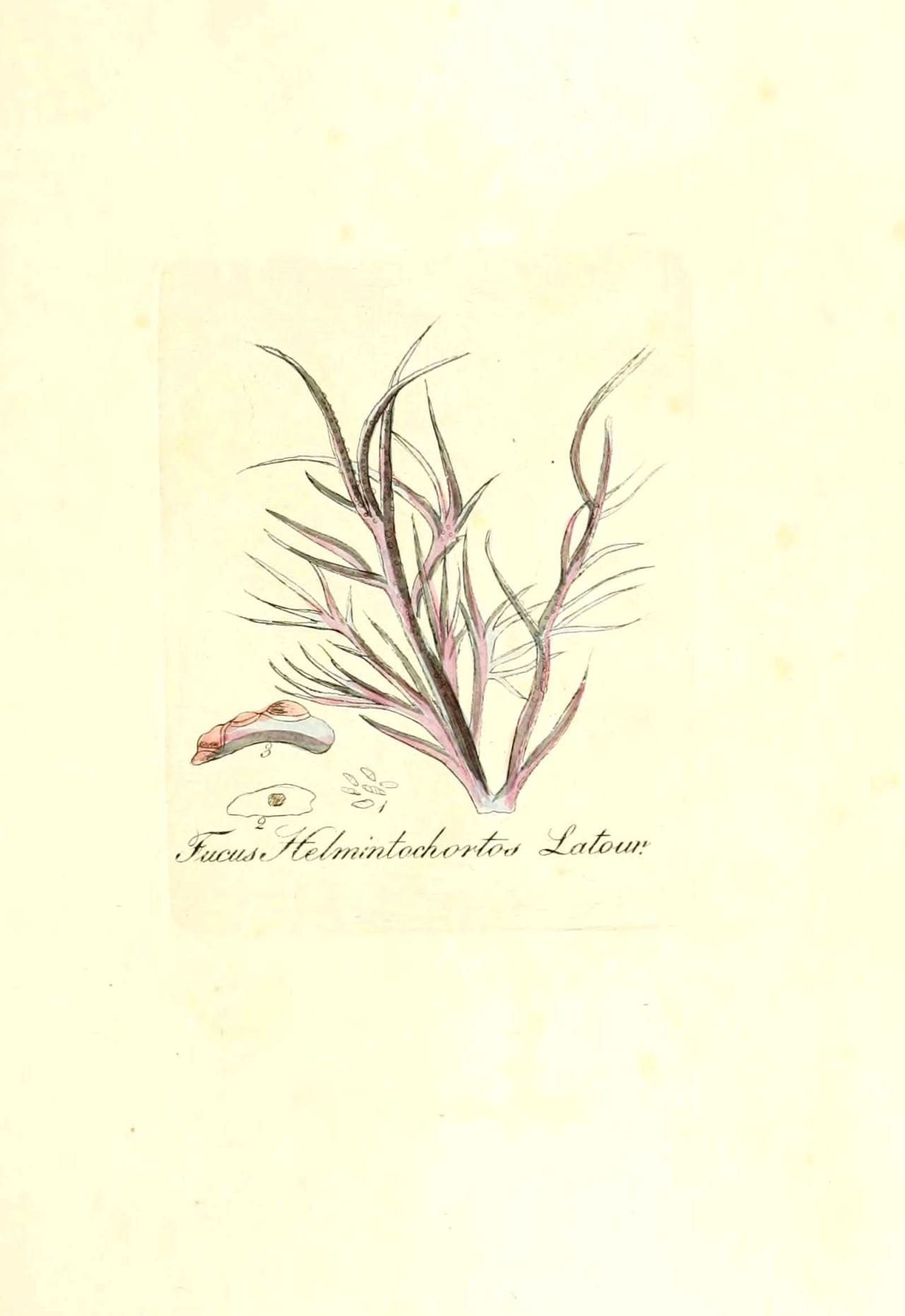 alsidium helminthocorton