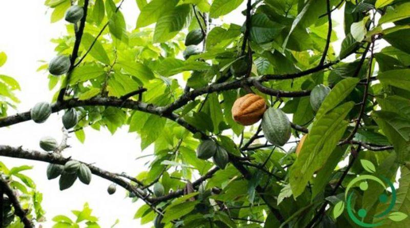 Come coltivare il cacao