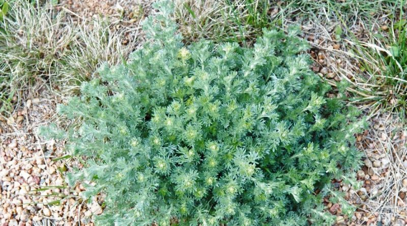 Artemisia frigida