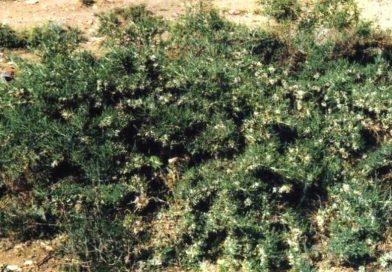 Astragalus brachycalyx