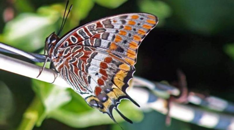 Charaxes jasius