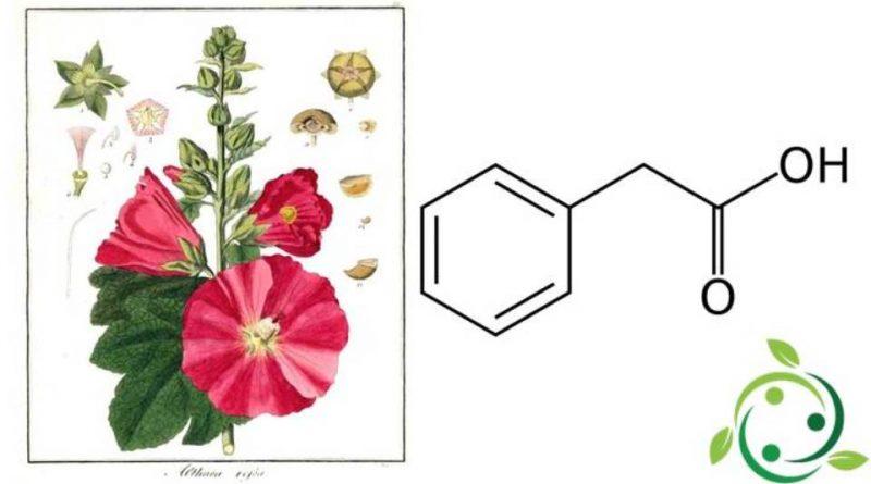 Acido fenilacetico