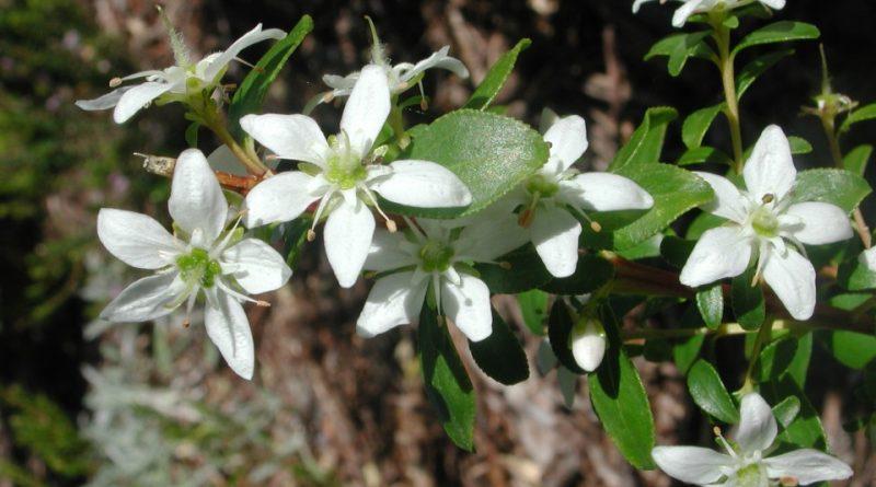 Agathosma crenulata