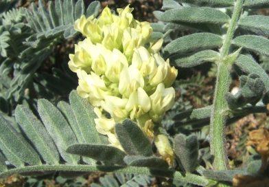 Astragalus verus