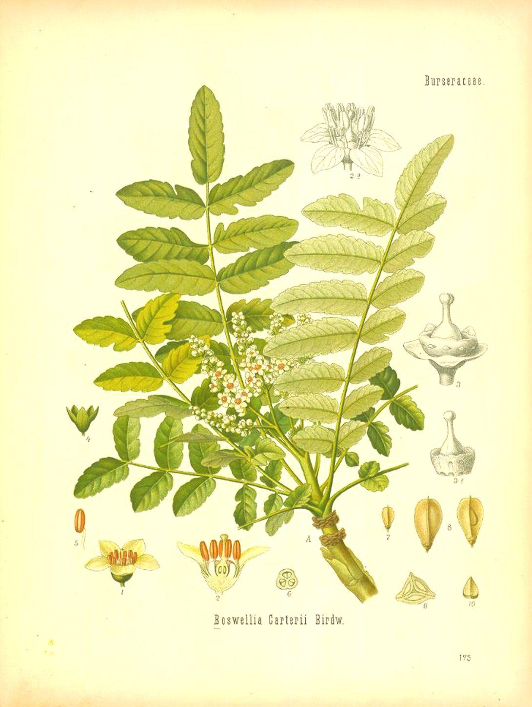 Boswellia frereana