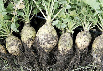 Brassica napus napobrassica