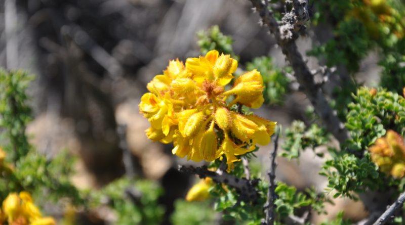 Caesalpinia brevifolia