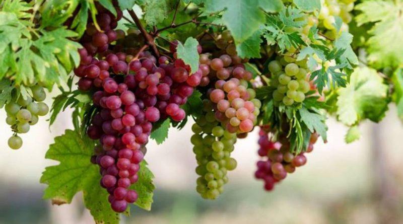Come coltivare l'uva da tavola