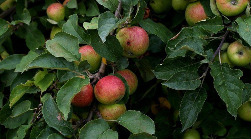 Talea di melo