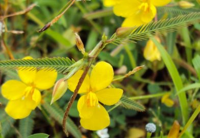Cassia aldabrensis