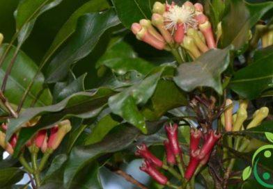 Come coltivare i chiodi di garofano